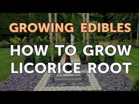 How to Grow Licorice Root