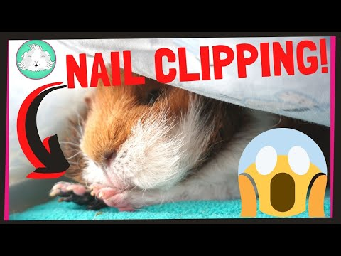 HOW TO: Trim Your Guinea Pig's Nails With Ease! | Squeak Dreams