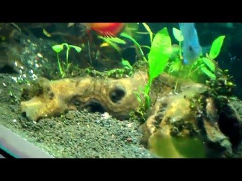 Brown Algae or Diatoms in discus and planted aquarium