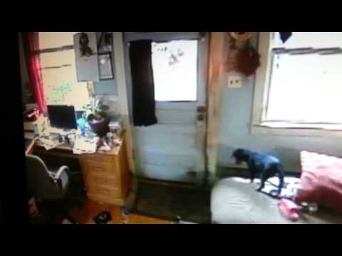 Puppy jumps off couch to open door with his face!