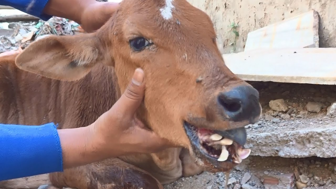 Calf could never eat again without rescue...