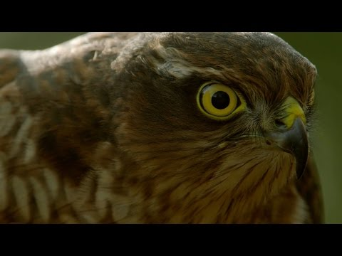 How sparrowhawks catch garden birds - Life in the Air: Episode 2 Preview - BBC One