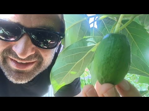 Ep178 - My FIRST Homegrown Avocado at Stonehaven Urban Food Forest in Phoenix!