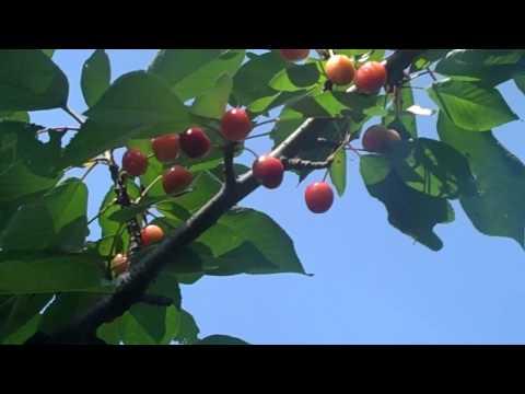 Birds & Squirrels Eating My Cherries!