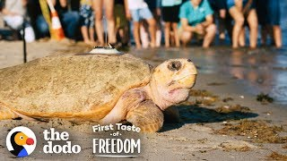 Rescued Giant Sea Turtle Is Thrilled To Swim Back To The Ocean | The Dodo First Taste Of Freedom