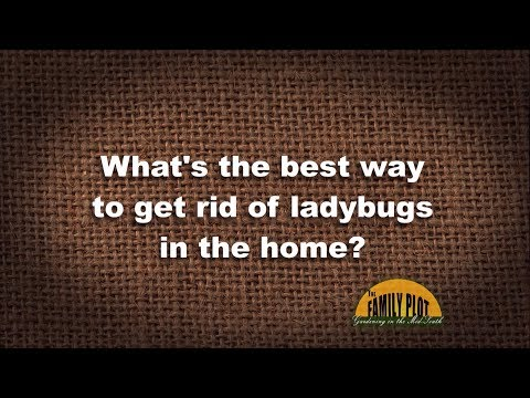 Q&A – What's the best way to get rid of ladybugs in the home?