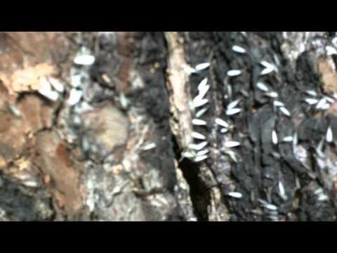 Pine Tree Termite Destruction
