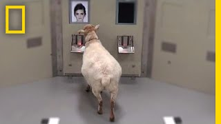 Sheep Can Recognize Human Faces   National Geographic