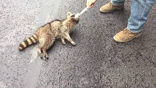Neighbors rescue a Raccoon sentenced to death by hanging