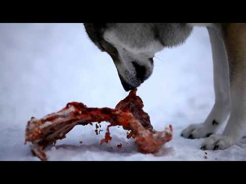 Dogs eating deer bones
