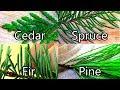 Wild Edibles- Pine / Spruce / Cedar / Fir- Evergreen Teas