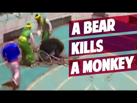CHINA: a Bear kills a Monkey in Bicycle Race in a ZOO.