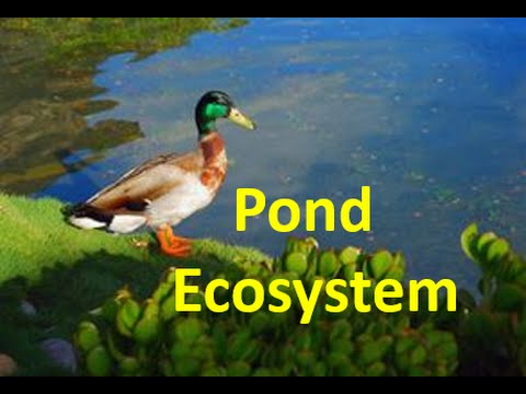 Pond Ecosystem for kids - Pond Ecology Facts & Quiz