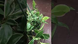 Caring for a Hoya Carnosa (Wax Plant)
