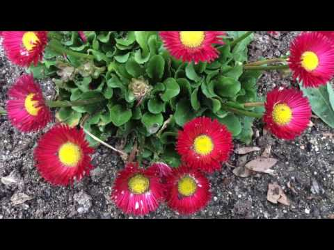 Bright Red Chrysanthemums (Chrysanths) Blooms #chrysanthemums #mums #crysanths #spring #gardening