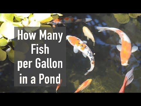 How Many Fish Per Gallon in a Pond & What Koi Fish Weigh