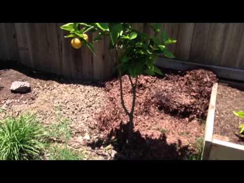 Pruning Page Mandarin & Meyer Lemon trees 1