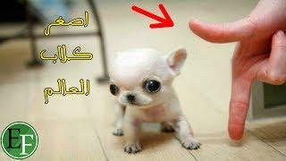 أصغر 5 كلاب في العالم، لن تصدق حجمها الحقيقي