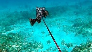 Spearfishing Rare Marbled Grouper - Bahamas Part 2 (Ted