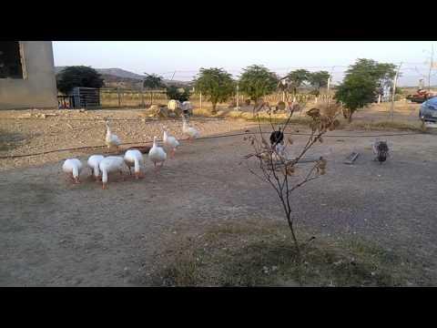 Domestic White Goose 03459442750 Zain Ali Farming in Pakistan