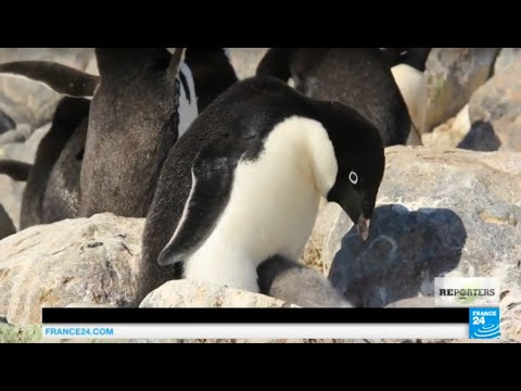 The penguins, the first victims of global warming and ice melting