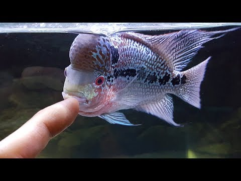 The Safest Way to Care for Your Flowerhorn
