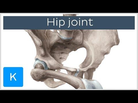 Hip joint - blood supply, innervation and bones - Human Anatomy  Kenhub
