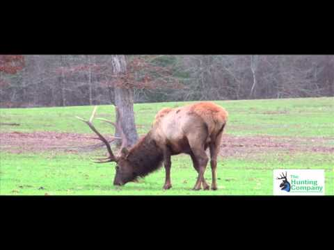 Elk Shot With Poison Arrow In Mississippi With South Coast Safaris