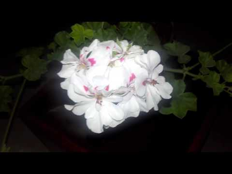How to take care of Ivy Geraniums