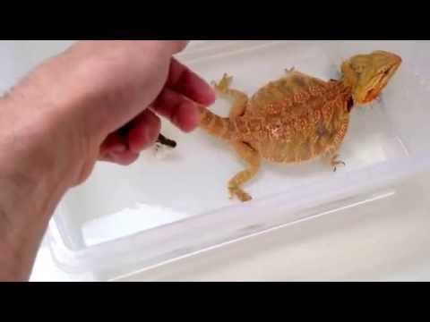 How to clear impaction for your Bearded Dragon