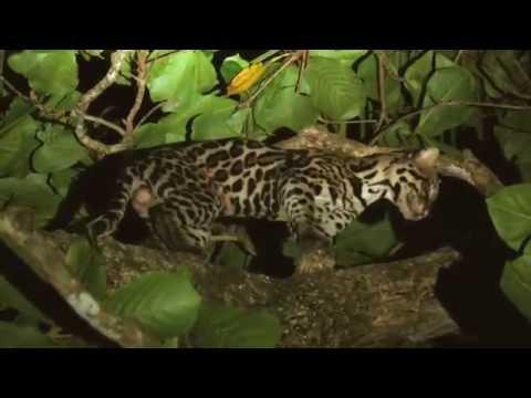 Leopardus pardalis (Ocelot)- Parque Nacional Corcovado