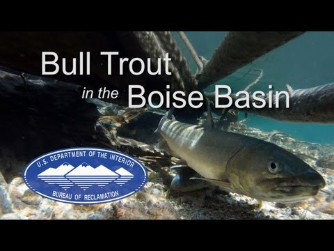 Bull Trout Activities in Idaho's Boise River Basin