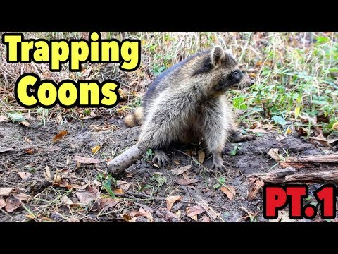 Trapping Raccoons 2017 : Dog Proof Traps Day 1