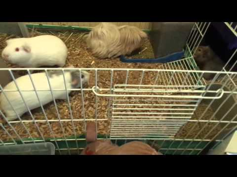 Guinea Pig Bedding - What I Recommend.