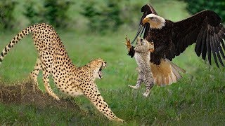 Big Mistake Eagle Provoked Baby Leopard And The Unexpected   Mother Leopard Fail To Save Her Baby