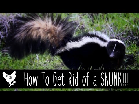 How to Get Rid of a Skunk! | CosmoCornbread