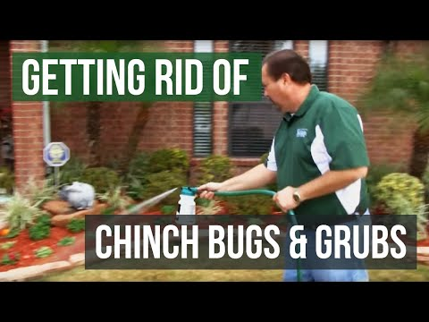 How to Get Rid of Chinch Bugs and Grubs