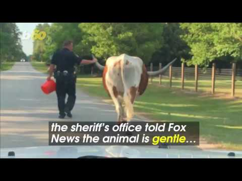 Texas Deputy 'Grabs Bull by the Horns' and Walks It Home