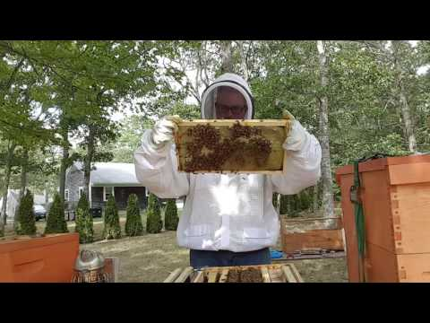 Treating for tracheal mites Angry bees and getting stronger.