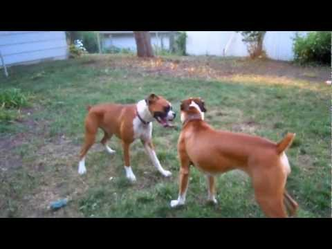 My Crazy Boxer Dogs