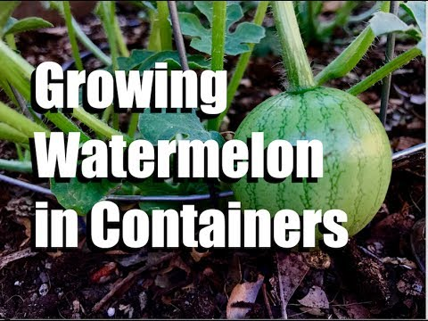 Growing Watermelon in Containers - 3 Tips // Growing Large Veggies/Fruit in Containers #2