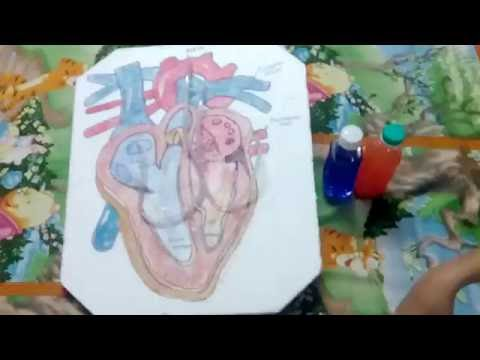 Working model of a human heart
