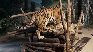 """2018 Meet """"Vasili"""" and """"Kira"""" at the Toronto Zoo's Amur Tiger Exhibit (4K)"""