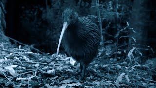 Brown Kiwi Courtship Spectacle - Wild New Zealand - BBC Earth