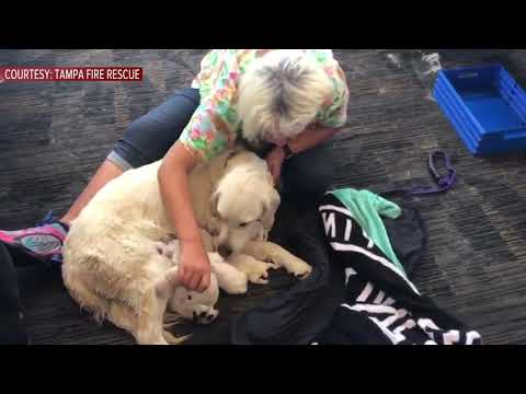 Service dog welcomes litter of puppies while waiting to board flight at Tampa International Airport
