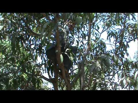 Harvesting Mango Trees near Pune India