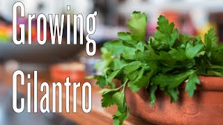 Growing Cilantro In Abundance