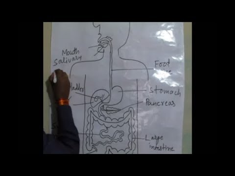 How to draw human digestive system in very easy way