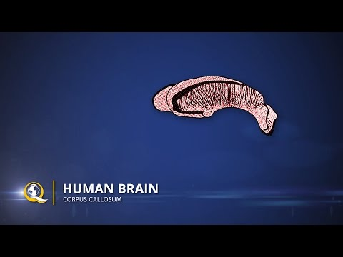 Corpus Callosum - The Human Brain Series - Part 19