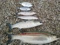 Kefal avı MULLET FİSHİNG 2012